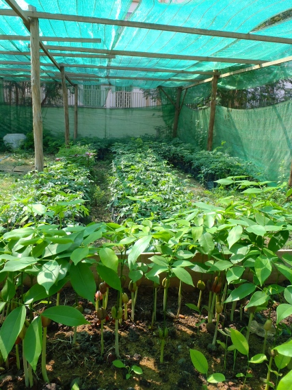 Nursery full of native tree seedlings for planting in remote communities in Cambodia